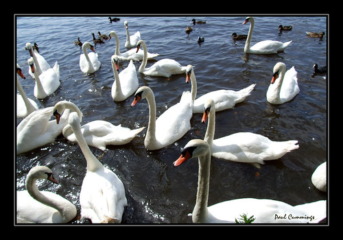 I had a few swans willing to pose for me today...lol -- swans quack p.cummings pcummings 2007 uk few me willing today pose