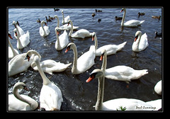 I had a few swans willing to pose for me today...lol - by CheGuevara-Paul