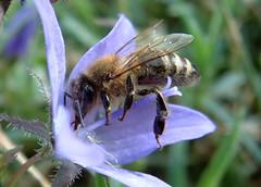 Bee (annick777 aka elia grace) Tags: flower fleur bee abeille specnature diamondclassphotographer flickrdiamond excapture