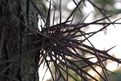 Treethorns