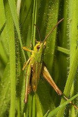 """Grasshopper(10) • <a style=""""font-size:0.8em;"""" href=""""http://www.flickr.com/photos/57024565@N00/1407923821/"""" target=""""_blank"""">View on Flickr</a>"""
