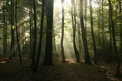 ..aus der Reihe Strahlung und Wald. (D.Reichardt) Tags: wood wallpaper forest germany licht ray nebel d wald niedersachsen stubben reichardt aplusphoto dreichardt