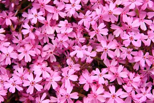 富士芝桜まつり-moss phlox