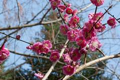 "Flower, Plum tree ""Sakura-kagami"" (nekonomania) Tags: ume deeppink rosaceae prunusmume kyotobotanicalgarden"