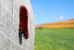wooly fella (rakkasan69) Tags: autumn fall canon bug fuzzy tony wooly babcock xsi catapillar