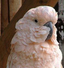 Parrot - Paradise Wildlife Park - Broxbourne Herts, England -  Sunday June 3rd 2007 (law_keven) Tags: pink england bird beauty feathers parrot feathery wildlifepark broxbourne explore500 flickrsbest featherfriday beautyintheeyeofthebeholder abigfave
