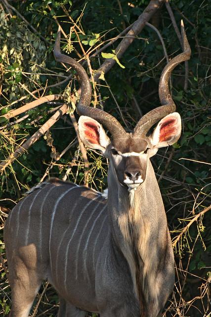 kudu cuernos orejas