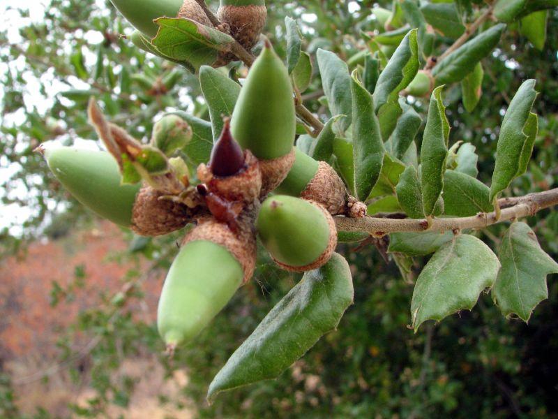 Photo: Quercus Ilex