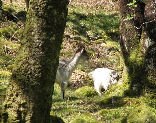 Wild goats at Cwm Bychan