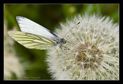 (Marjo1963) Tags: vlinder butterfly paardebloem pluisje dandelion bloemen flowers dieren animals 052010 geaderdwitje