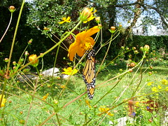 October scene: Monarch butterfly on volunteer cosmos (pawightm (Patricia)) Tags: austin texas backyardgarden monarchbutterfly texashillcountry centraltexas danausplexippus autumngarden octobergarden octoberblooms pawightm volunteercosmos fss852046 yellowandorangecosmos offthelimestoneledge