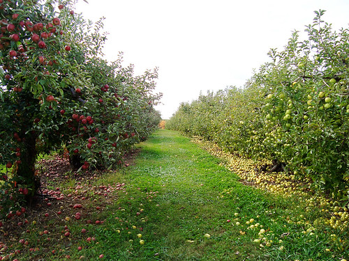 orchard trees