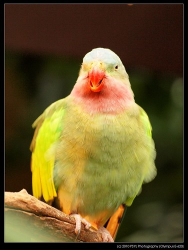 Monty, the Princess Parrot (Polytelis alexandrae)
