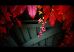 parthenocissus in my garden (Ulf Bodin) Tags: autumn red garden leaf creeper höst trädgård parthenocissus vildvin uteplats canoneos5dmarkii canonef24mmf14liiusm