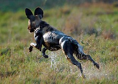 Wild Dog, Savuti, Chobe National Park, Botswana