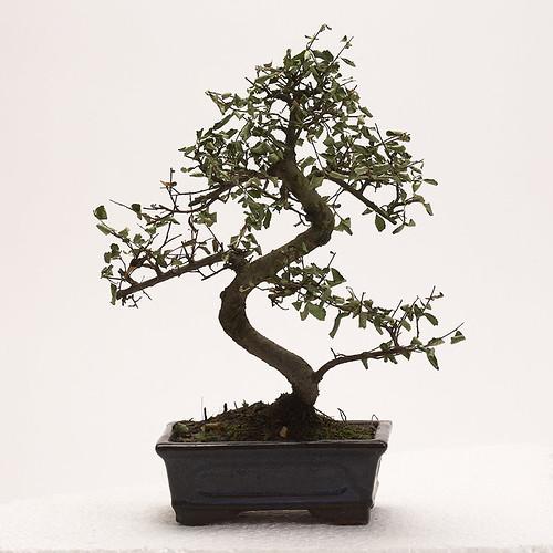 orme de chine - mon bonsai ne va pas bien - forums parlons bonsai