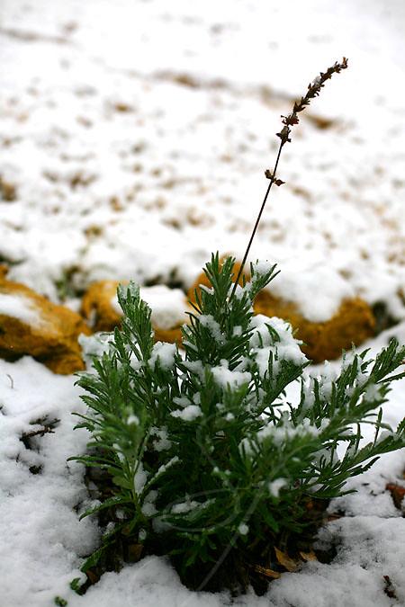 snowy lavender