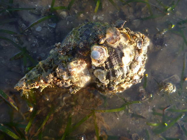 Horse Conch shell covered in bivalves