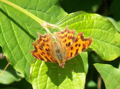 Comma in Stave Hill Ecology Park