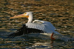 White Pelican_Sunset