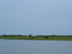 Shackleford Horses in the Marsh