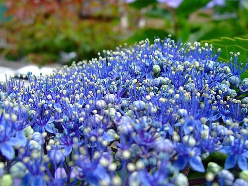 20070630未盛開的紫陽花