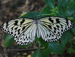 Butterfly Wings! (~Kim's Picture Gallery~) Tags: fab butterfly searchthebest animalkingdom walkinthepark naturesfinest blueribbonwinner supershot instantfave flickrsbest beautifulcapture animalkingdomelite mywinners mywinner abigfave creativephotographer anawesomeshot irresistiblebeauty superbmasterpiece diamondclassphotographer flickrdiamond ishflickr citrit envyofflickr ysplix searchandreward shinningstar onlythebestare naturewatcher butterflygallery picturefantastic butterflycolorgroup