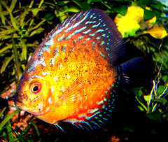 discus (aycasan) Tags: fish nature animal turkey aquarium trkiye discus turkei akvaryum balk aplusphoto
