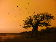 remembering van gogh #2, medhar (nevil zaveri (thank you for 10million+ views :)) Tags: trees india colour nature colors birds animals silhouette manipulated landscape photography fly flying photo blog photographer photos action surrealism wildlife stock flight surreal images photographs photograph crow raven zaveri surrealistic gujarat baobab stockimages bhaat gujrat nevil navsari dawnanddusk medharbhaat thesecretlifeoftrees medhar nevilzaveri
