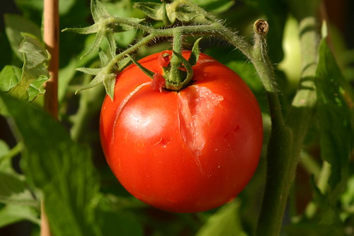 The Masked Bandits Tomato