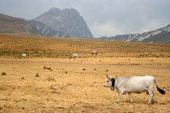 Cow and mountain (James Ward) Tags: italy holidays gransasso