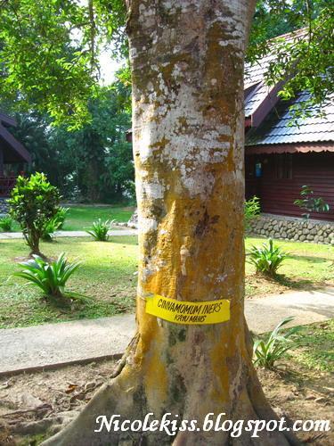 cinnamon tree