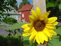 Syracuse Sunflower