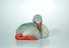 طائر الفلامينكو الرررررائع