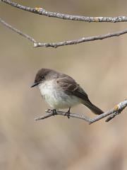 Eastern Phoebe (Jeff Dyck) Tags: birds bokeh phoebe perched lichen easternphoebe fortwhyte jeffdyck fortwhytealive avianexcellence goldlichen