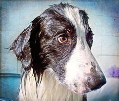 Bath Time Blues! (meg price) Tags: wet bath bordercollie barney pathetic thanksto borealnz pareeerica forfreetextures