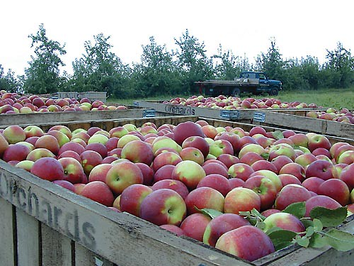 Apples like these are produced in Wisconsin orchards