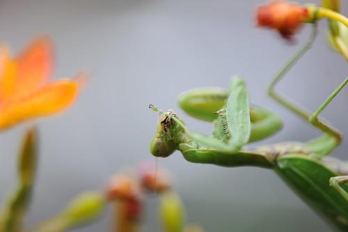螳螂捕蝶 041