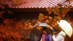 Maple (a.lu.) Tags: red plant leave maple sony taiwan alpha 700 70300g a700 fushou