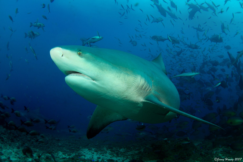 Handsome Bull shark
