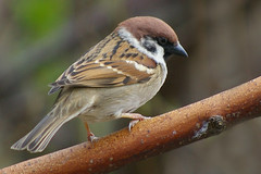 Tree Sparrow 13