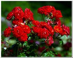 Rosaleda #2 (R.Duran) Tags: madrid espaa spain nikon espanha europa europe d200 espagne rosegarden rosaleda 18200mmf3556gvr colorphotoaward