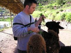 Alpaca (llgumby) Tags: alpaca peru paul