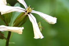 green hopper on arugula flower