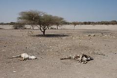 186 - Kalacha - The Drought (FO Travel) Tags: kenya nairobi nakuru karama lewa baringo naivasha turkana gabra chalbi suguta nariokotome kalacha loyangalani logipi