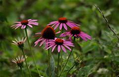 (mightyquinninwky) Tags: flowers rural geotagged pod award farmland wildflowers pow invite ohioriver westernkentucky uniontownkentucky ohioriverbottoms unioncountykentucky ohiorivervalley onlythebestare geo:lat=37793296 geo:lon=87909277 1on1colorfulphotooftheweek 1on1colorfulphotooftheweekoctober2007 jasonpresser 11223344556677 bestofformyspacestation