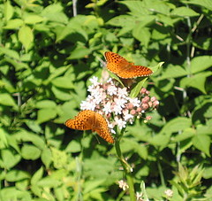 Fritillaries on milkweed