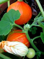 An ocean of pumpkins .. Ein Meer von Kürbissen.. (Waldgeister's Sound of Silence) Tags: ocean pumpkin meer pumpkins von an ein güster holstein schleswig norddeutschland kürbissen