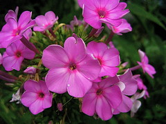 Late Summer Hot Pink Phlox (MidiMacMan) Tags: desktop pink flowers wallpaper plants flower macro nature floral botanical flora colorful bright blossom background grow vivid stamens download bloom phlox hotpink pinkflowers floweringplants midimacman stegeman fauxtography angiosperms angiosperm americanartist endosperm johnathanjstegeman midimacroman johnathanjosephstegeman johnathanstegeman familiesoffloweringplants