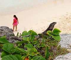 iguana beach (Lodonnec) Tags: beach iguana virela gardela virela2 gardela2 virela3 virela4 virela5 virela6 virela7 virela8 virela9 virela10